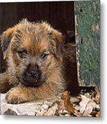 Norfolk Terrier Puppy By Barn Door Metal Print