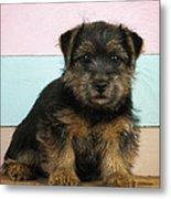 Norfolk Terrier Puppy Dog, Sitting Metal Print