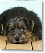 Norfolk Terrier Puppy Metal Print