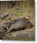 North American Beaver Metal Print