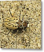 Northern Beach Tiger Beetle Marthas Metal Print