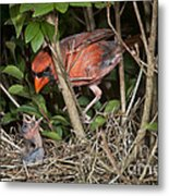 Northern Cardinal At Nest Metal Print
