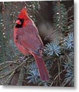 Northern Cardinal Metal Print by John Kunze