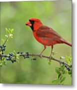 Northern Cardinal Male Eating Elbow Metal Print