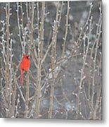 Northern Cardinal -male Metal Print