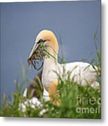 Northern Gannet Gathering Nesting Material Metal Print