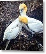 Northern Gannets And Chick Metal Print