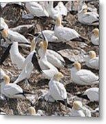 Northern Gannets Metal Print