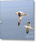 Northern Gannets In Flight Metal Print