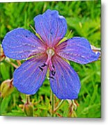 Northern Geranium In Jasper National Park-alberta  Metal Print