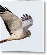 Northern Harrier Hawk Hunting Metal Print