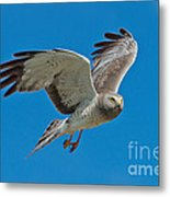 Northern Harrier Male In Flight Metal Print