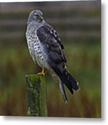 Northern Harrier Metal Print