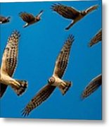 Northern Harrier Sequence Metal Print