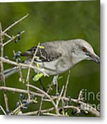 Northern Mockingbird Metal Print