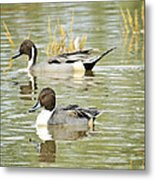 Northern Pintail Ducks  Metal Print