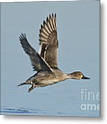 Northern Pintail Hen Metal Print