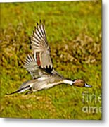 Northern Pintail In Flight Metal Print