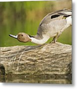 Northern Pintail  Metal Print