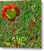 Northern Pitcher Plant In French Mountain Bog In Cape Breton Highlands-nova Scotia  Metal Print