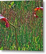 Northern Pitcher Plant In French Mountain Bog On Cape Breton Isl Metal Print