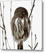 Northern Pygmy Owl - Little One Metal Print