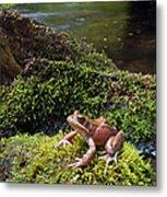 Northern Red-legged Frog Metal Print