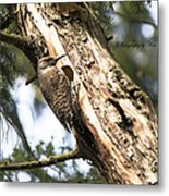 Northern Red Shafted Flicker Metal Print