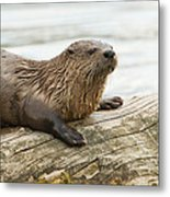 Northern River Otter Metal Print