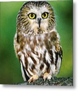 Northern Saw-whet Owl Aegolius Acadicus Wildlife Rescue Metal Print