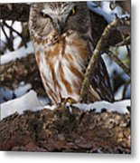 Northern Saw-whet Owl.. Metal Print