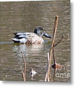 Northern Shoveler Duck  Metal Print