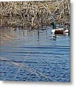 Northern Shoveler Swim Metal Print