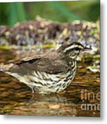Northern Waterthrush Metal Print