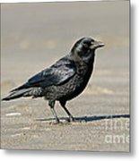 Northwestern Crow Metal Print