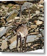 Norway, Troms Male Reindeer (rangifer Metal Print