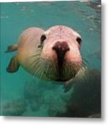 Nosey Sea Lion Metal Print