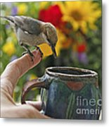 Nuthatch Bird On Finger Photo Metal Print