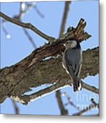 Nuthatch Getting To The Good Stuff Metal Print