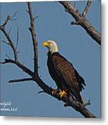 Nw Florida Bald Eagle Iv Metal Print