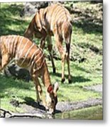 Nyalas At The Watering Hole Metal Print
