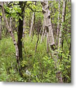 Oak And Birch Metal Print