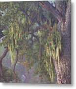 Oak Tree And Spanish Moss In The Mist Metal Print