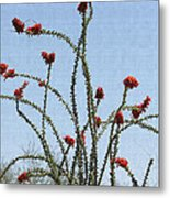 Ocatillo With Red Blossoms Metal Print