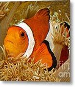 Ocellaris Clown Fish No 1 Metal Print