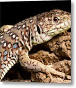 Ocellated Lizard Timon Lepidus Metal Print