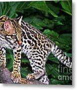 Ocelot Felis Pardalis Wildlife Rescue Metal Print