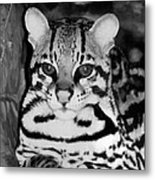 Ocelot In Repose Metal Print