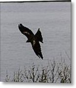 Oil Painting - A Large Bird Flying As Part Of The Birds Of Prey Show Metal Print