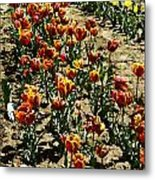 Oil Painting - Red And Yellow Tulips Inside The Tulip Garden In Srinagar Metal Print